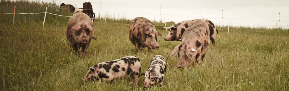 Bio-Schweine auf der Wiese