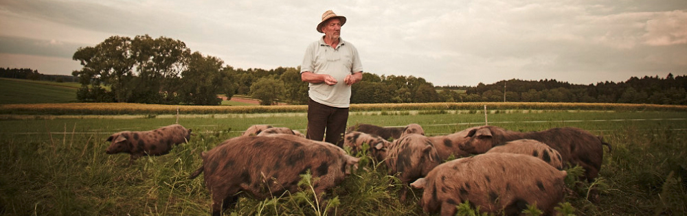 Turopolje-Schweine auf der Wiese