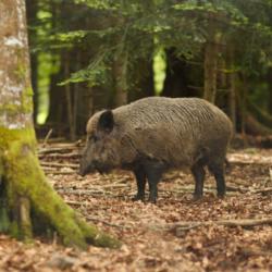Wildschwein und Feldhase