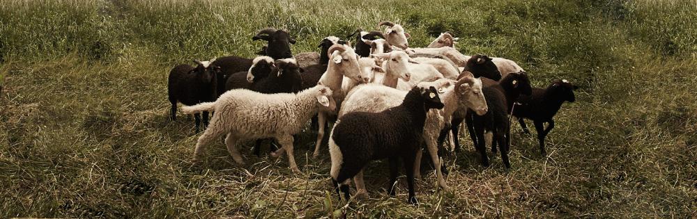 Bio Lammfleisch ab Hof