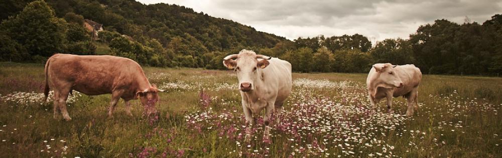 Bio Rindfleisch direkt vom Bauern