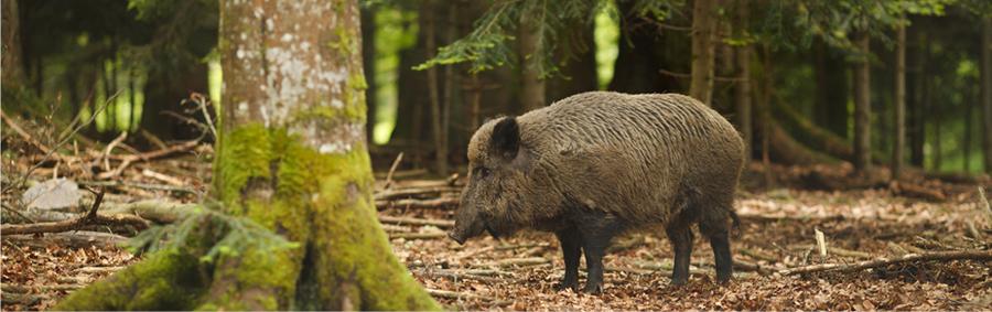 Titelbild-Wildschwein1
