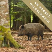 wildschwein-ab-herbst