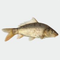 Karpfen-ganz-biofisch