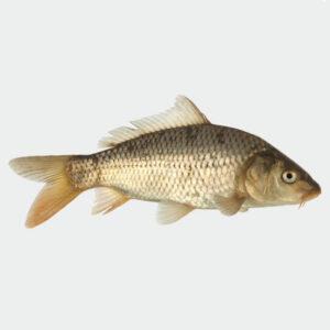 Demeter-Karpfen im Ganzen von biofisch
