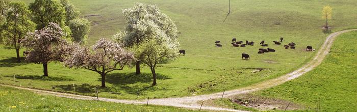 Galloway-Rinder auf der Weide